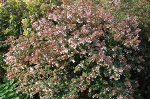 Abelia x grandiflora (31/10/2010, Brighton)