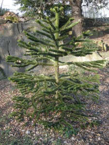 Araucaria araucana Young Tree (31/01/11, London)