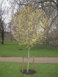 Cornus mas (20/02/2011, London)