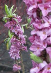 Daphne mezereum Flower (20/02/2011, London)
