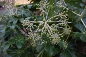 Fatsia japonica seed (09/02/2015, Walworth London)