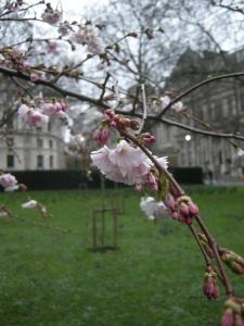 Prunus subhirtella 'Autumnalis' flower (20/02/2011, London)