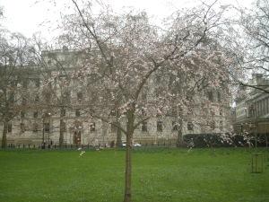 Prunus subhirtella 'Autumnalis' (20/02/2011, London)