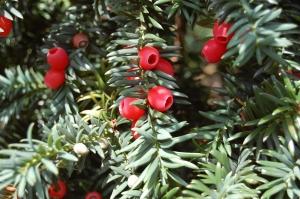 Taxus baccata berries (17/09/2011, London)
