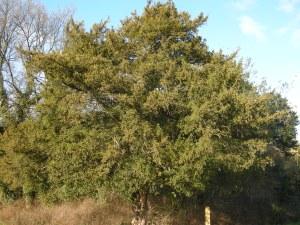Taxus baccata (30/01/2011, Chrystal Palace, London)