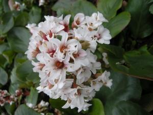 Bergenia 'Silberlicht' flower (13/03/2011, London)