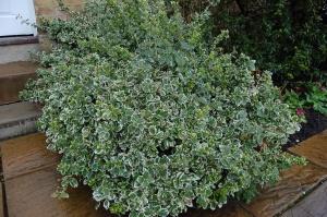 Euonymus fortunei 'Emerald Gaiety' (27/02/2011, London)