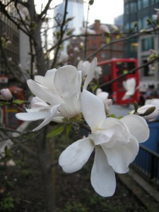 Magnolia kobus flower (13/03/2011, London)