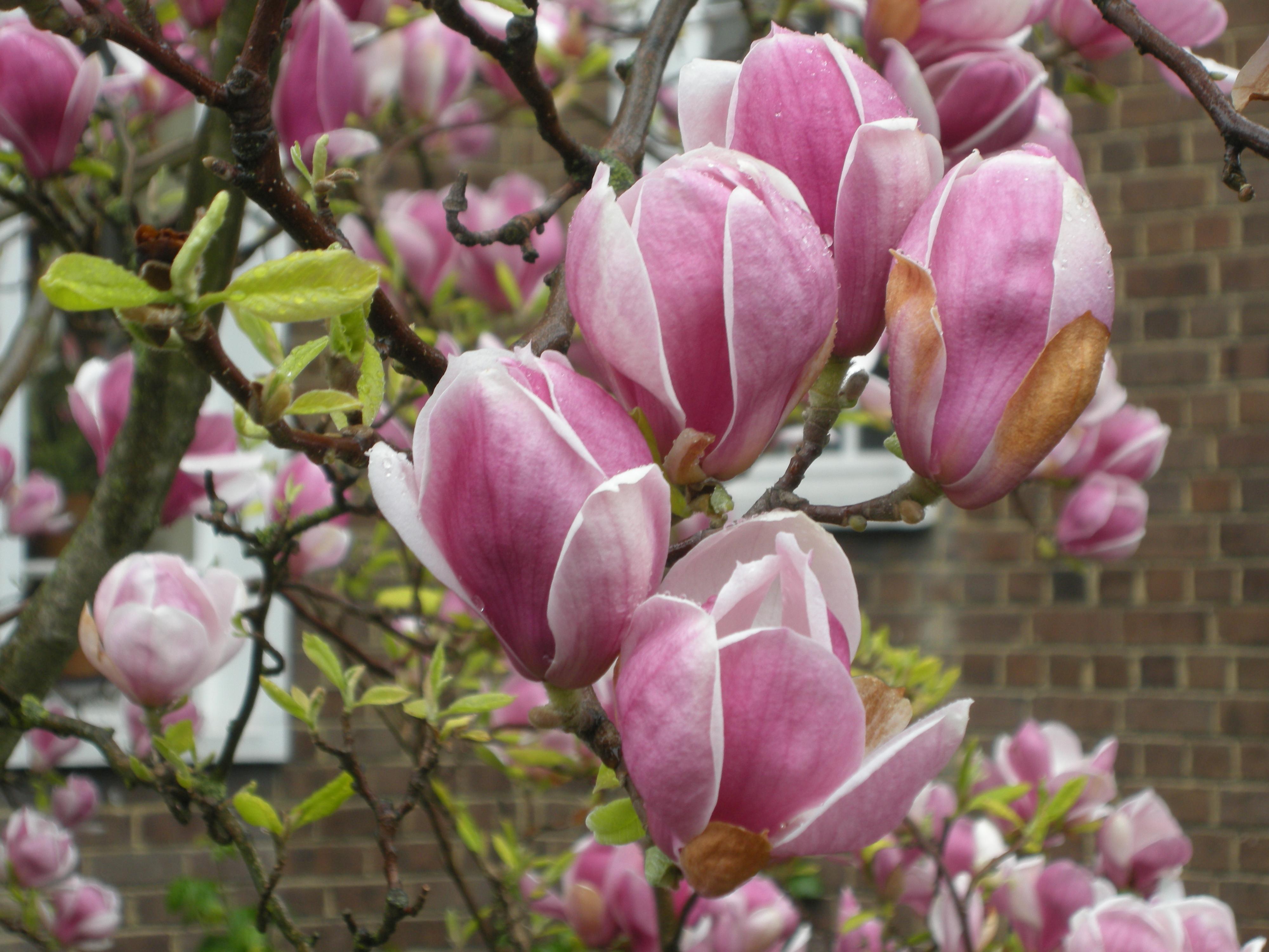 Magnolia Soulangeana Foliage Magnolia soulangiana flower Magnolia