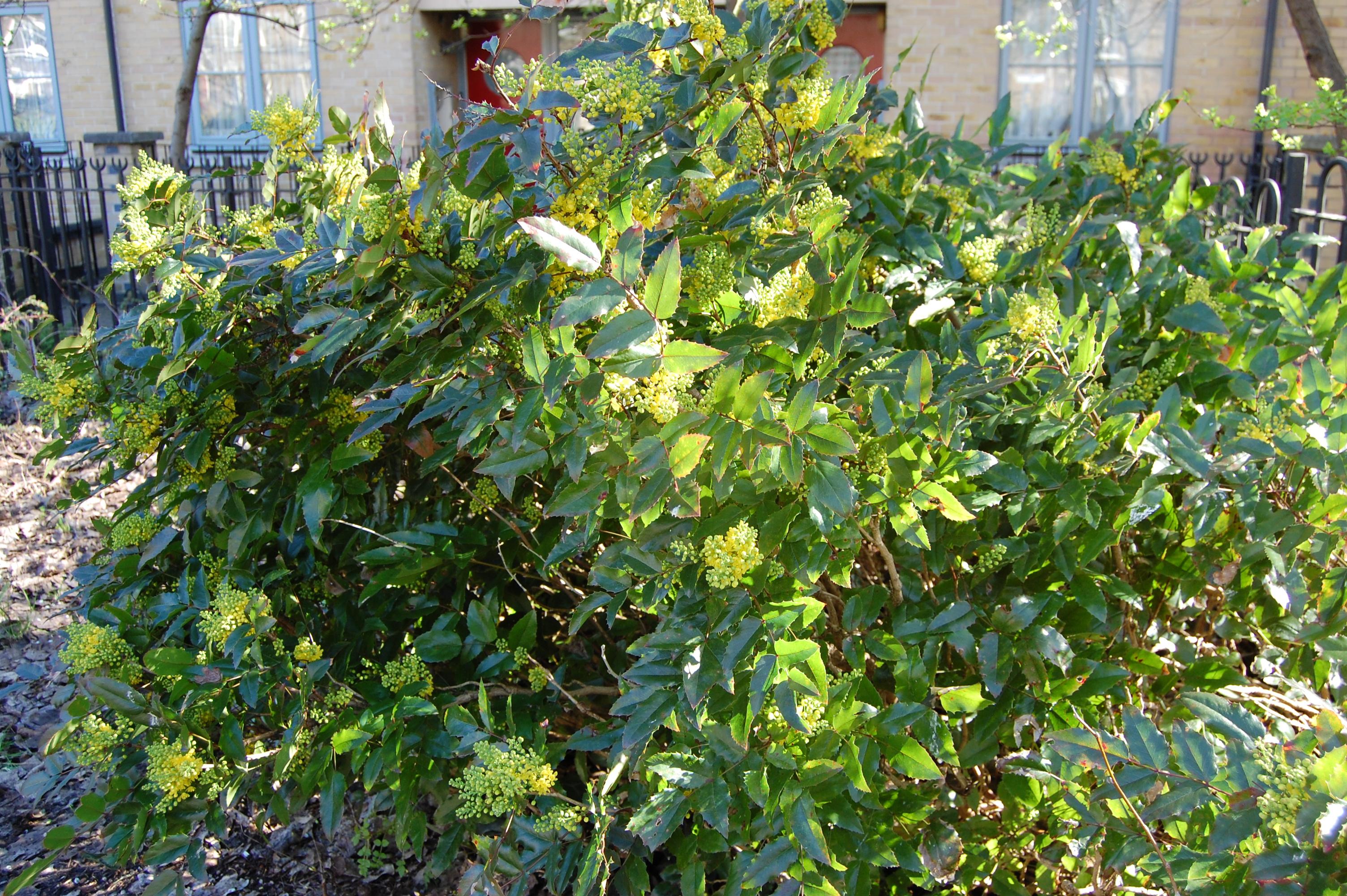 Mahonia Aquifolium Landscape Architect S Pages