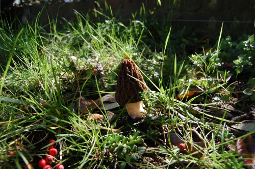 Green Roof With Morel Mushrooms