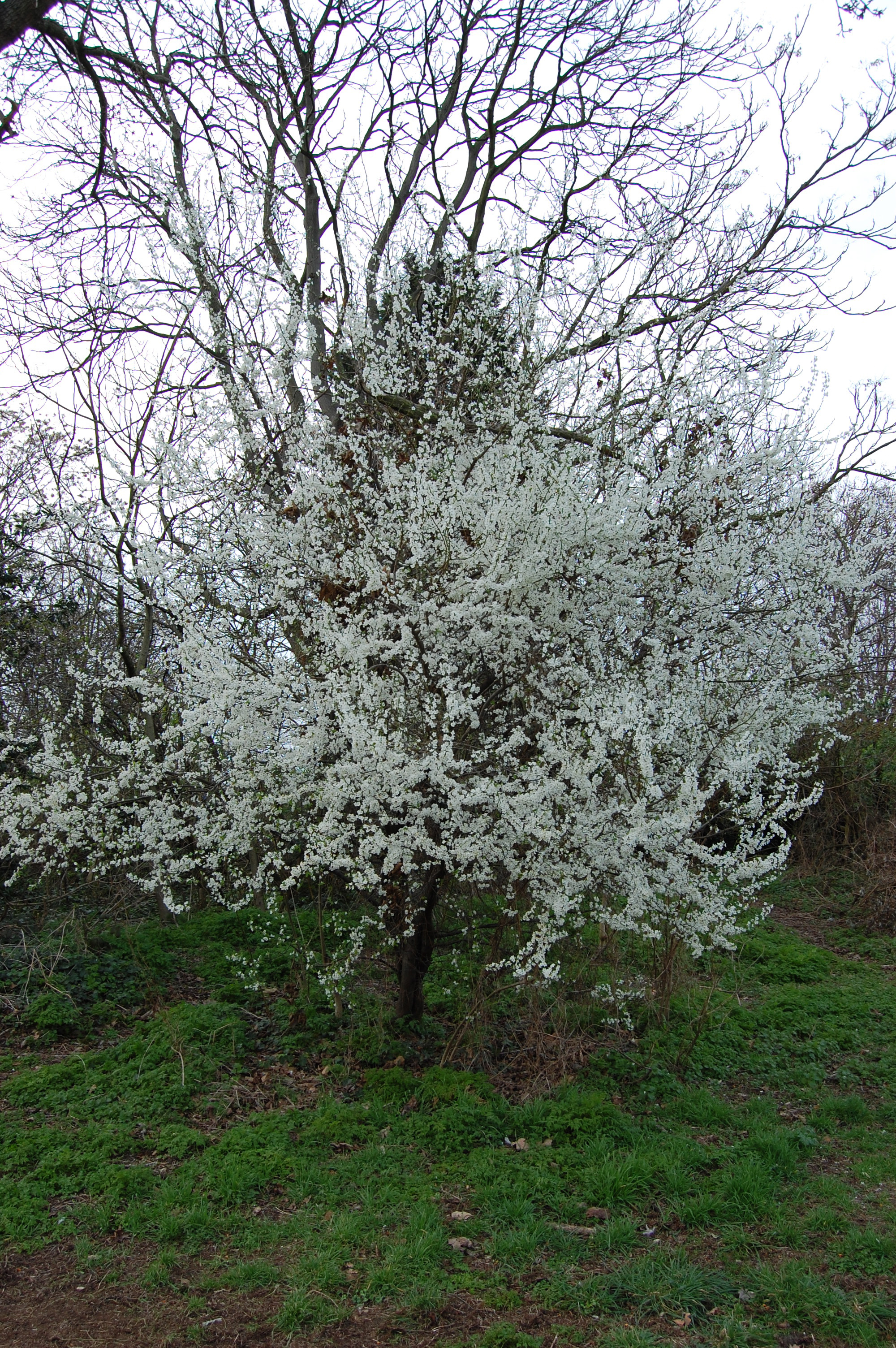 How To Make Sloe Gin >> Prunus spinosa   landscape architect's pages