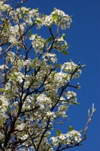 Pyrus calleryana 'chanticleer' flower (19/03/2011, London)