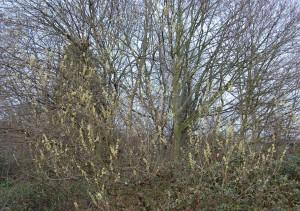 Salix caprea (13/03/2011, London)