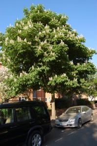 Aesculus hippocastanum (20/04/2011, Kew Gardens-London)