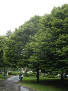 Carpinus betulus in Full Leaf (12/06/2011, London)