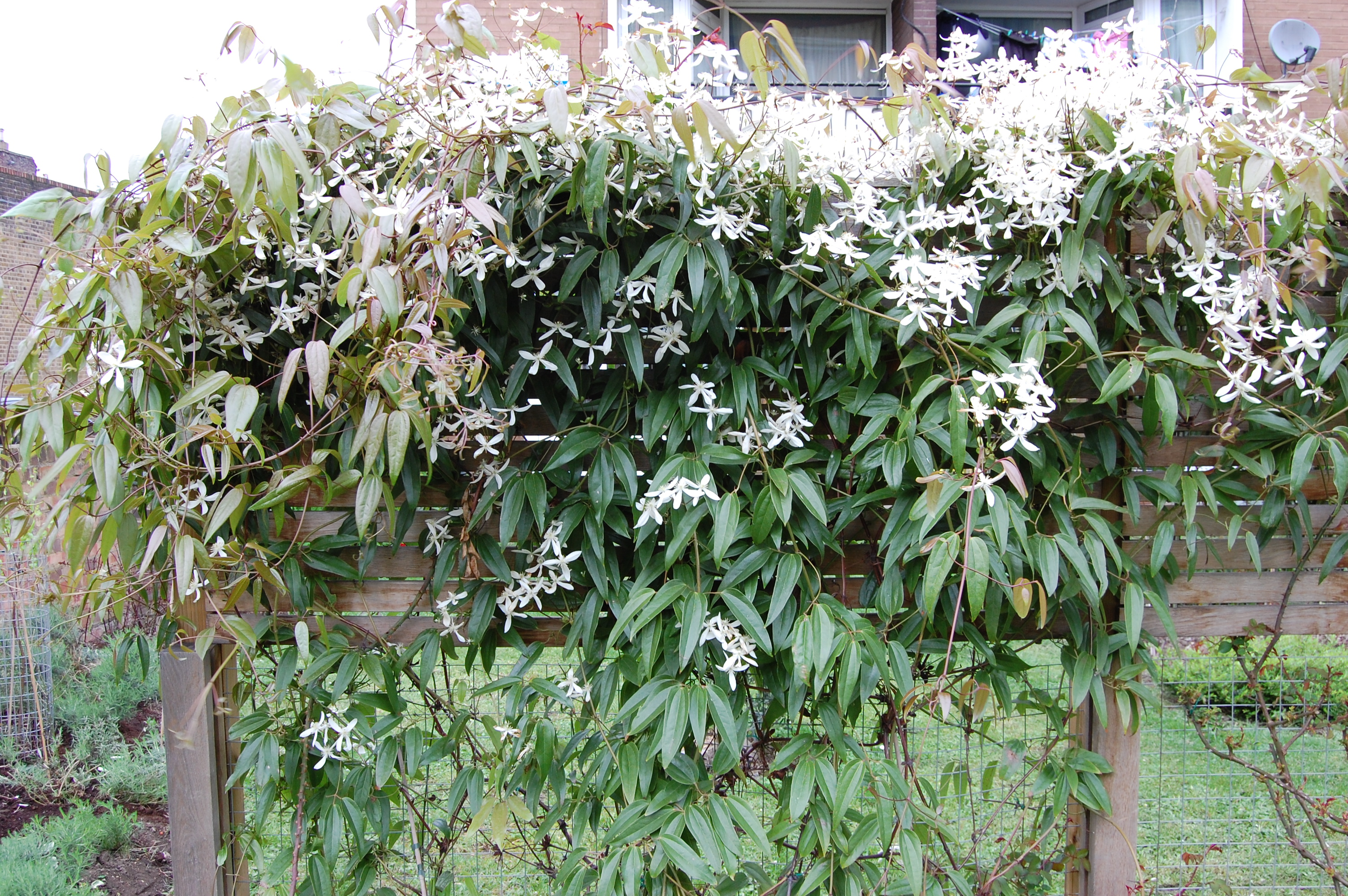 Clematis armandii landscape architect 39 s pages for The evergreen