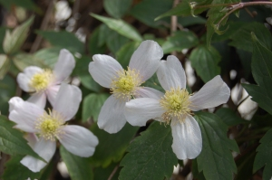 Clematis montana flower (16/04/2011, London)