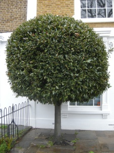 Laurus nobilis Topiary (30/03/2011, Kennington London)