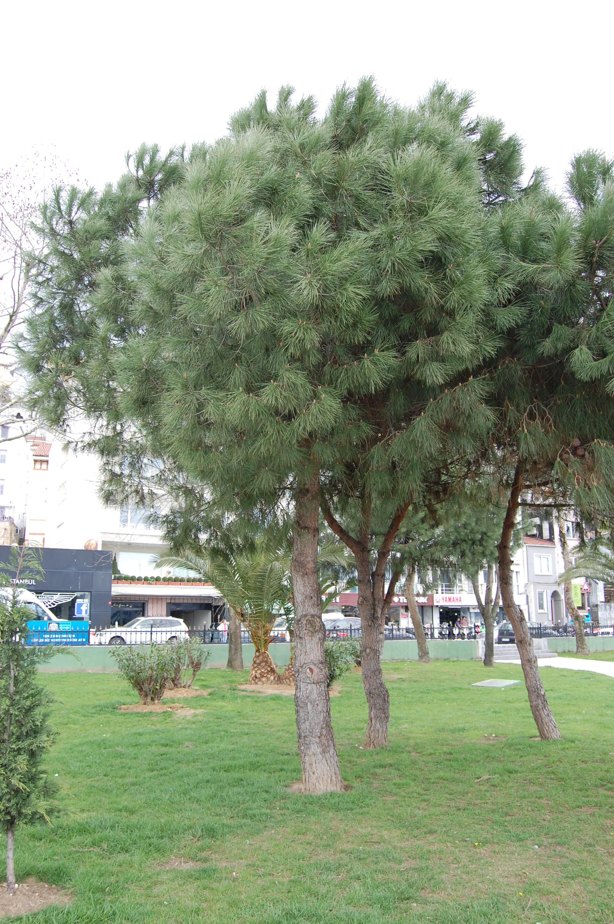 Pinus Pinea Landscape Architect S Pages
