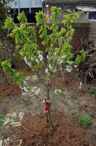Prunus avium 'Sunburst' (04/04/2011, London)