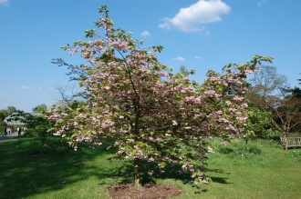 Prunus 'Shirofugen' flower (22/04/2011, Kew Gardens-London)