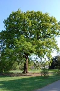 Quercus petraea (20/04/2011, Kew Gardens-London)
