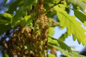 Quercus petraea flower (22/04/2011, Kew Gardens-London)