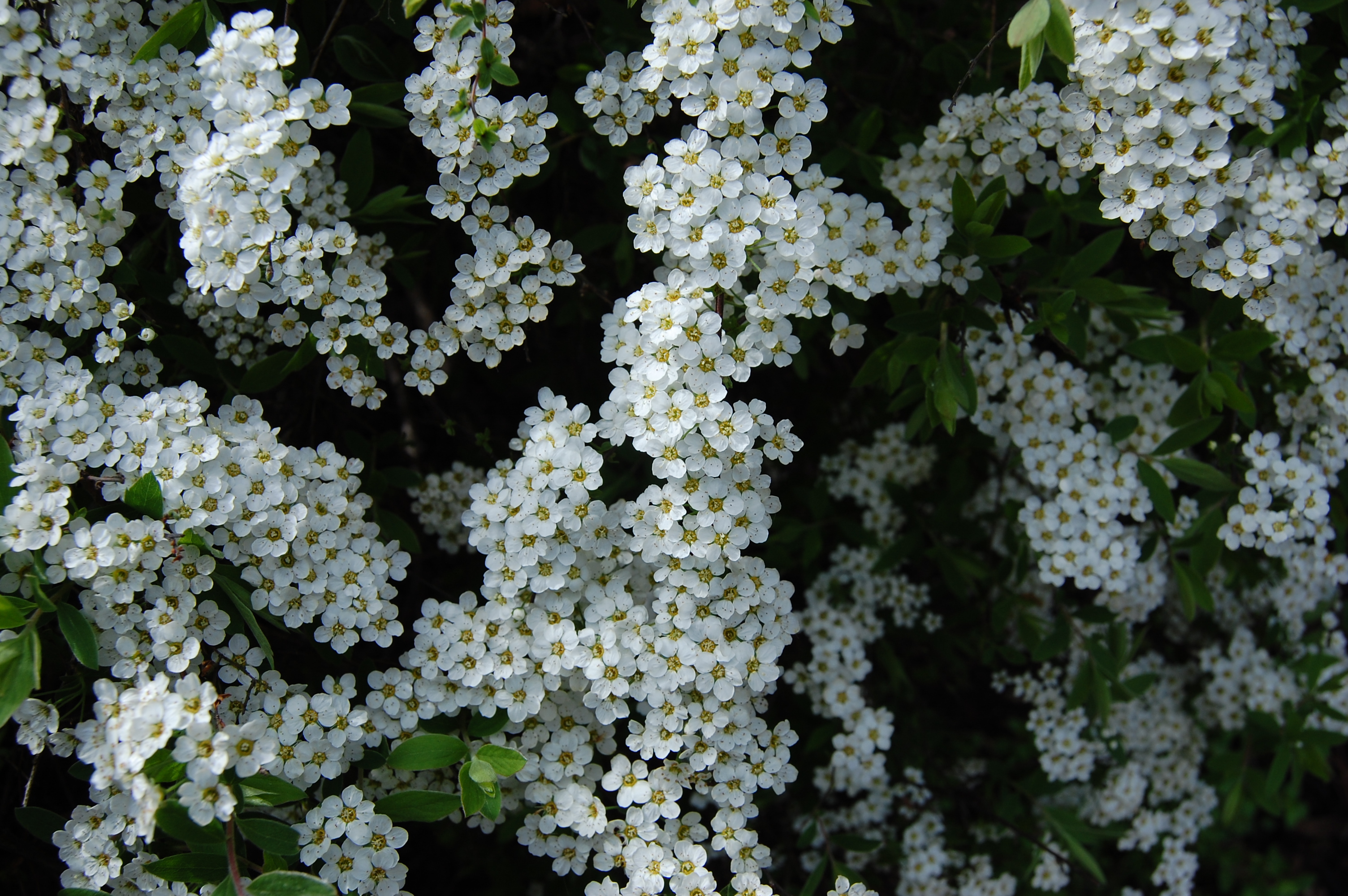Baby's Breath Spiraea