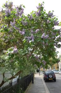 Syringa vulgaris (16/04/11, London)