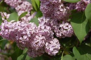 Syringa vulgaris flower (17/04/2011, London)