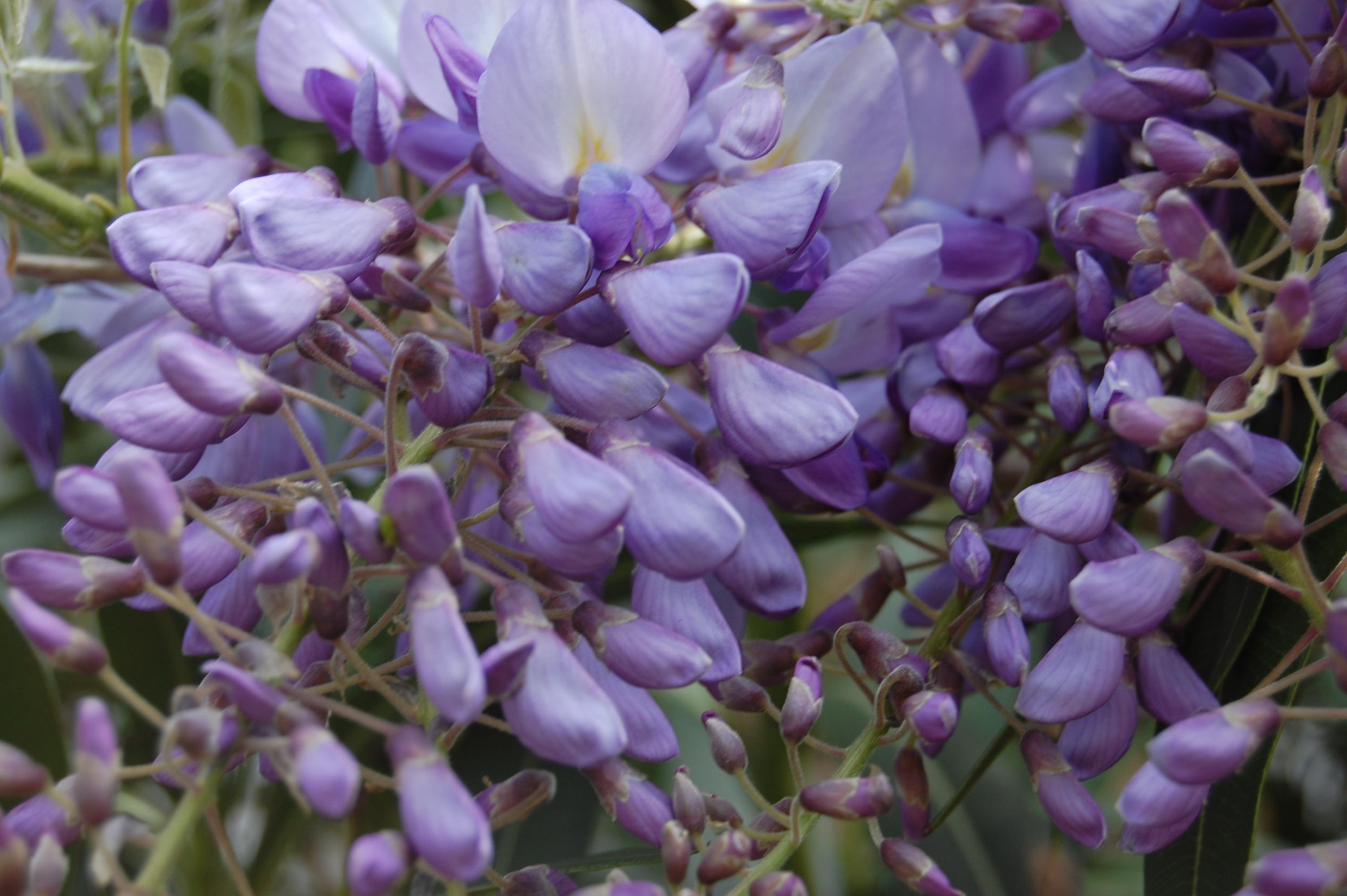 wisteria sinensis flower 3008×2000