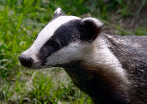Badger (Meles meles) (Image © Suffolk Wildlife Trust)