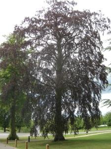 Fagus sylvatica f. purpurea (12/05/2011, Cambridge)