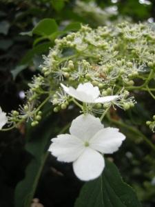 Hydrangea petiolaris flower (07/05/2011, London)