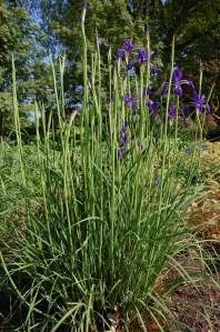 Iris typhifolia (22/04/2011, Kew Gardens, London)