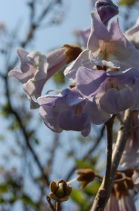 Paulownia tomentosa flower (30/04/2011, London)