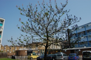 Paulownia tomentosa (30/04/2011, London)