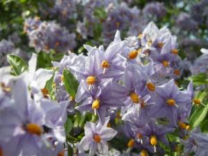 Solanum crispum flower (01/05/2011, Kensington, London)