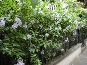 Solanum crispum (01/05/2011, Kensington, London)