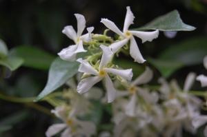 Trachelospermum jasminoides flower (15/05/2011, Paris)