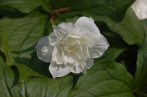Trillium grandiflorum 'Flore Pleno' flower (22/04/2011, Kew Gardens, London)