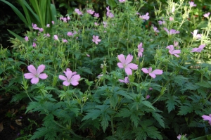 Geranium 'Wargrave Pink' (03/06/2011, Walworth, London)