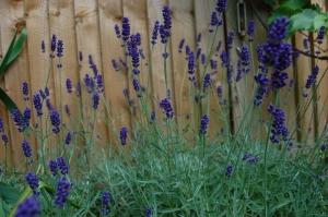 Lavandula 'Hidcote Blue' (03/06/2011, London)