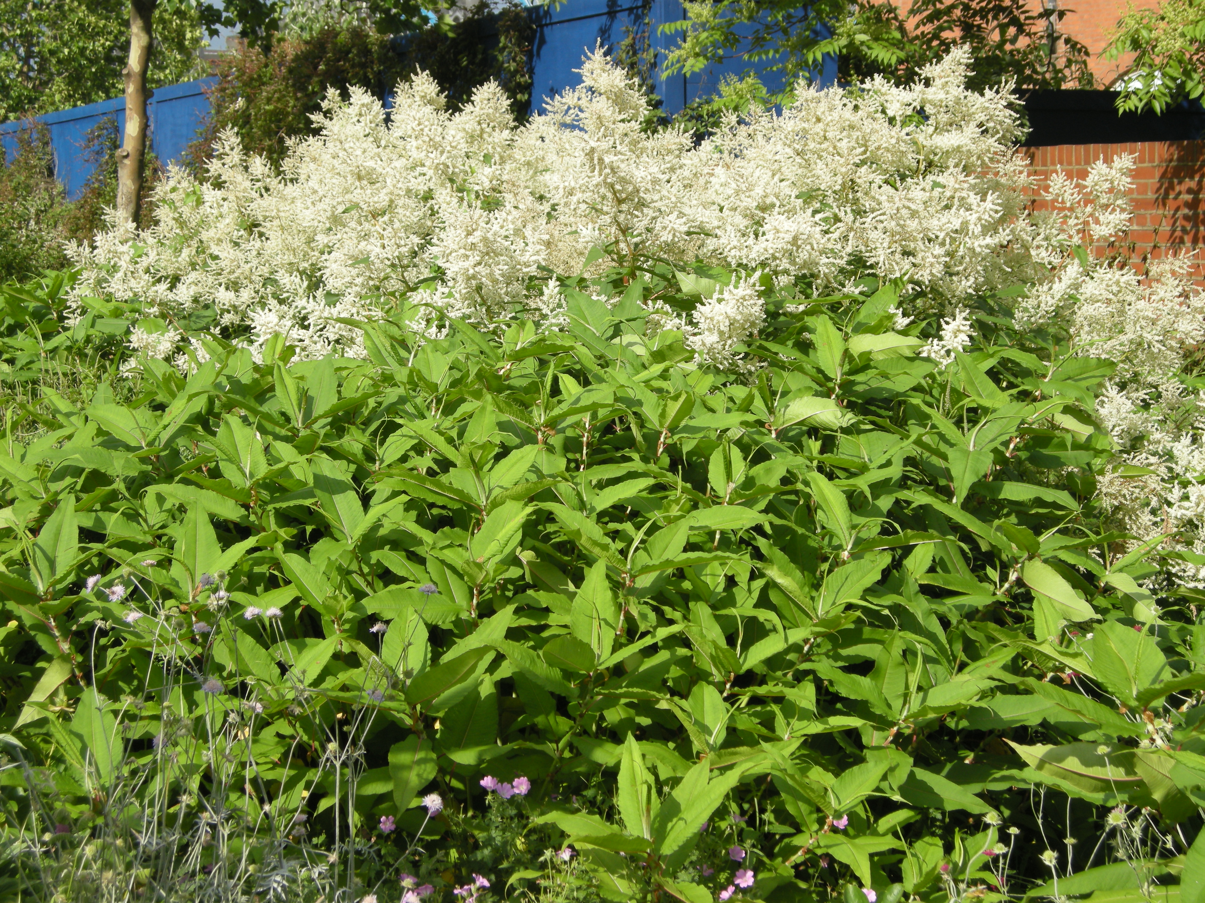 Persicaria Polymorpha Landscape Architects Pages