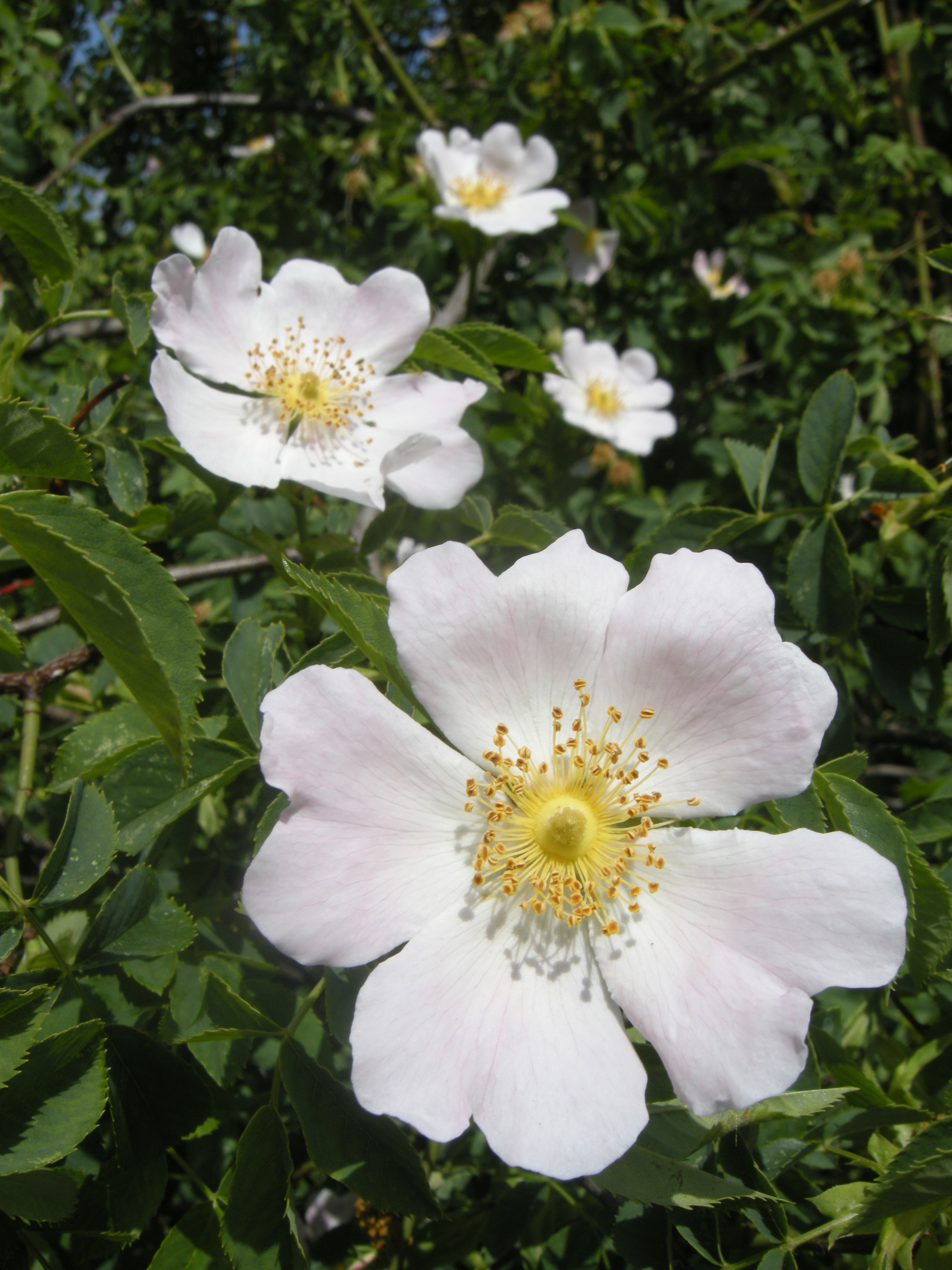 Rosa canina   landscape architect's pages
