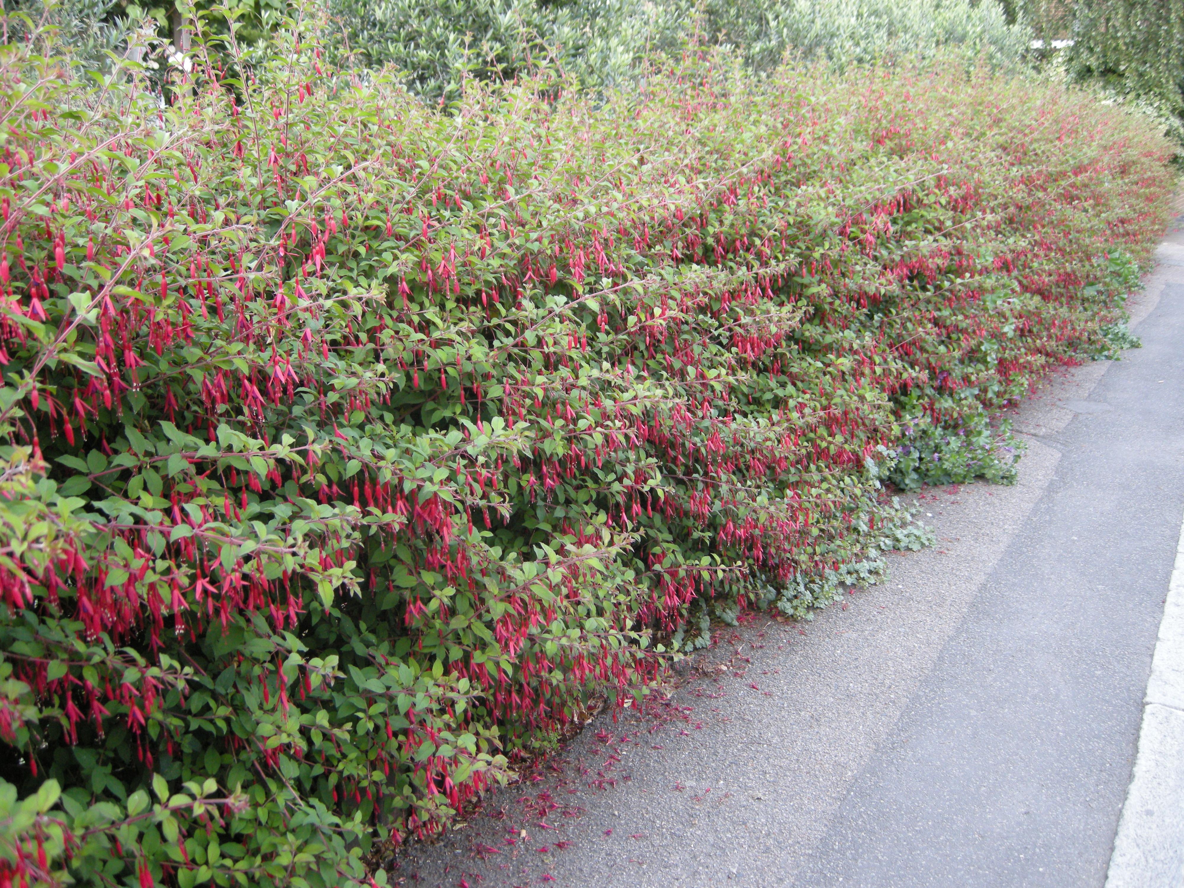 Fuchsia magellanica landscape architect 39 s pages for Fuchsia magellanica