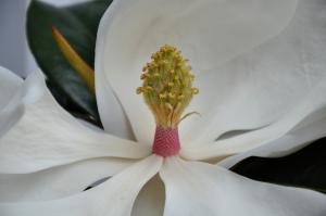 Magnolia grandiflora flower (29/06/2011, London)