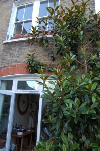 Magnolia grandiflora (09/07/2011)