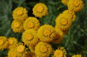 Santolina chamaecyparissus flower (18/06/2011, Walworth London)